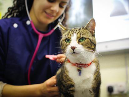Vet examining a cat